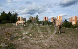 Betande hästar på Akalla stadspark, Kista, Sverige.