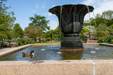 Duck swimming in a fountain on a warm day.