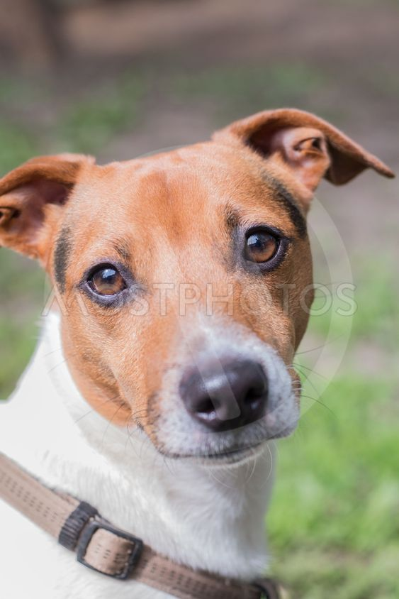 Portrait of a breeding dog Jack Russell Terrier. Smart...
