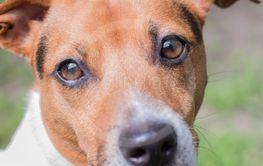 Portrait of a breeding dog Jack Russell Terrier. Smart...