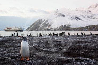 gentoo penguin in south georgia