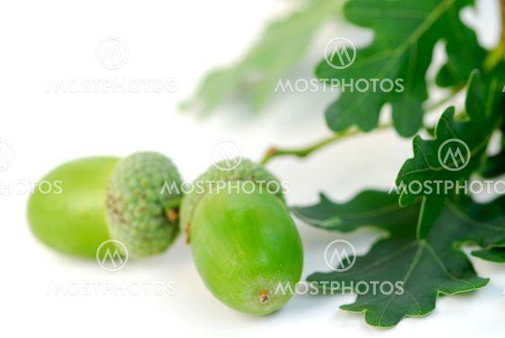 Acorn oak branch
