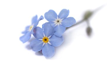 Blue flower on a white background