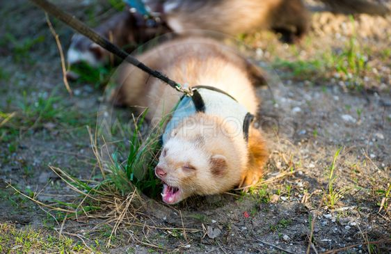 Two ferret for walk with a collar and leash