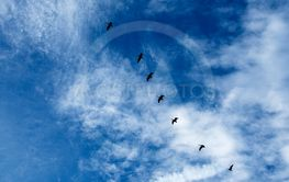 Geese formation against blue sky