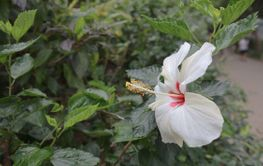 White hibiscus flower on a green background. In the...