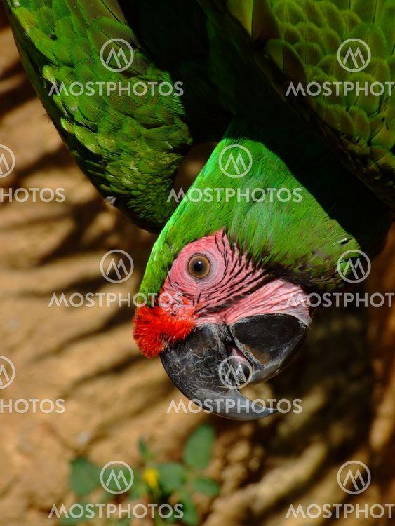 Upsidedown Macaw