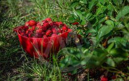 Att plocka jordgubbar
