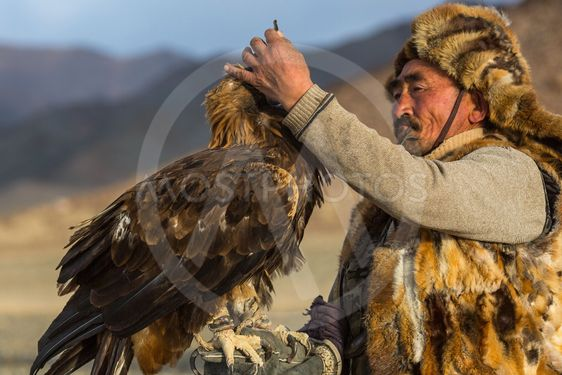 Golden Eagle Hunter came to took the prey from the bird,...