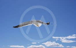 A flying seagull against the sky with white clouds