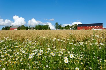 Oat Farm and Daisies
