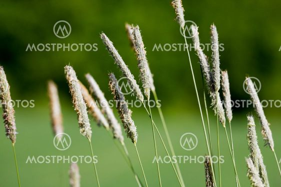 Luonnonvaraisten ruoho makron
