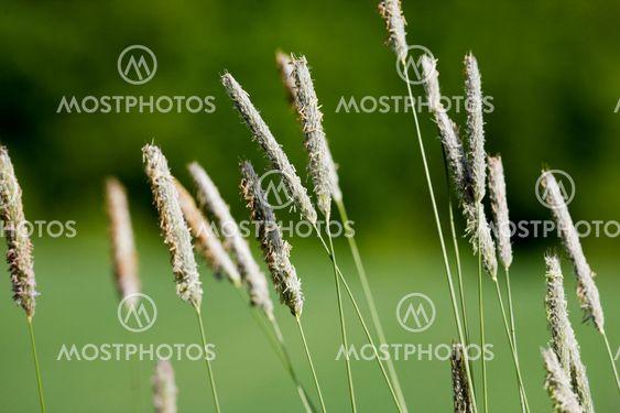 Vilde græs makro