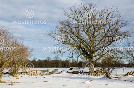 Wide oak