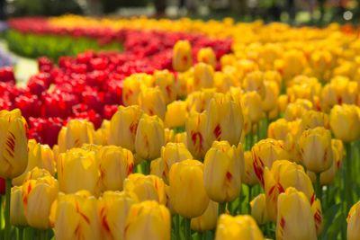 Tulip curve