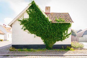 Grön klätterväxt på bostadshus i visby Gotland.