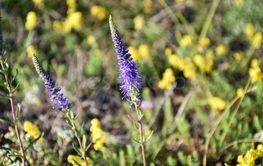 Närbild av blommande axveronika i naturreservatet Gårdby...