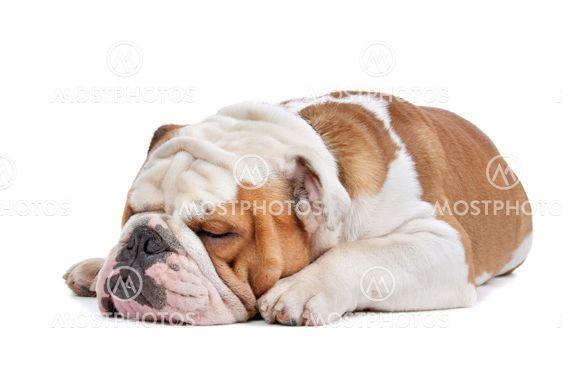 Englanti Bulldog