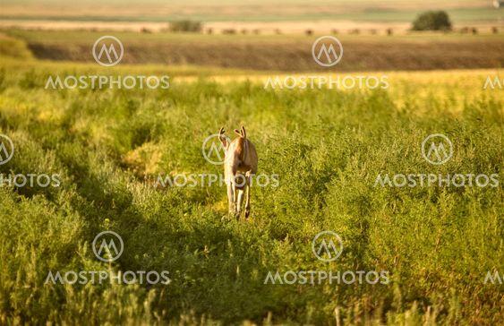 Hjortar i ett fält