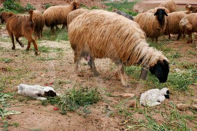 Mother Sheep tending to new born lamb