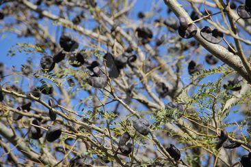 Autochthonous tree