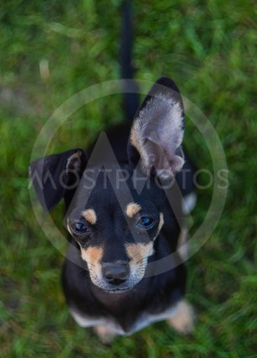 Small young chihuahua