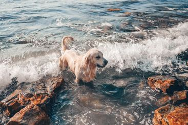 Happy cheerful golden retriever swimming running jumping...