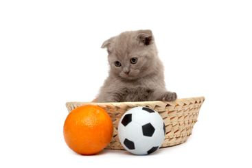 The Scottish Fold kitten sits in basket  with a ball and...