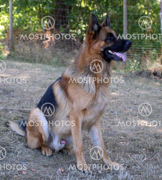 Schäferhund sittande