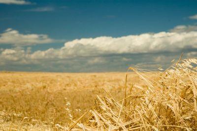 Cut barley