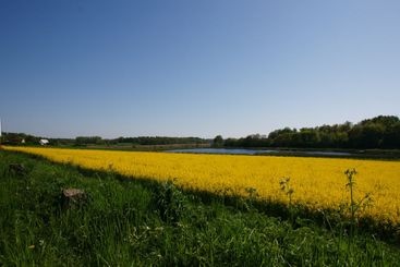 Green, Yellow, Blue - rape field in full bloom