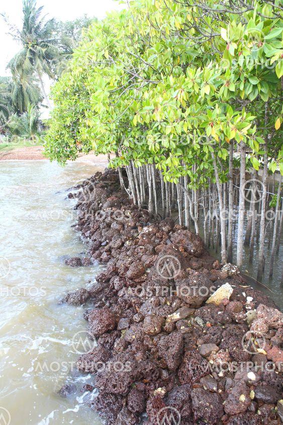 Mangrove metsien