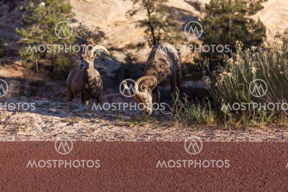 Bighorn Sheep in Zion
