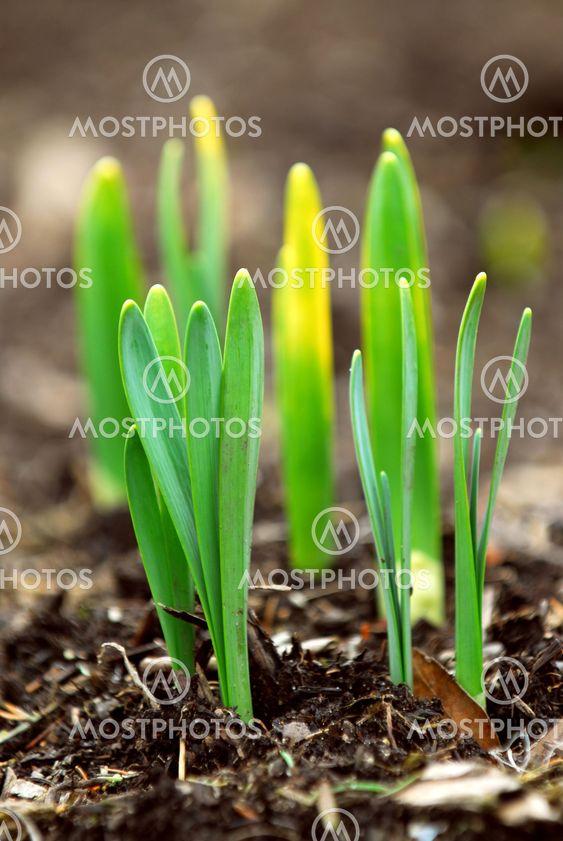 Våren skott