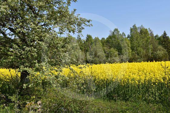 Blommande rapsfält i ett grönt landskap