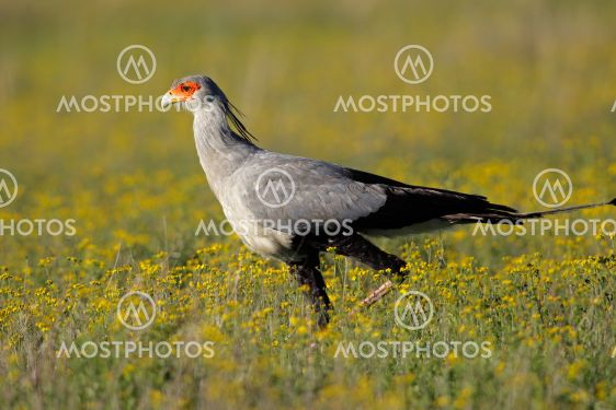 Sekreterare bird