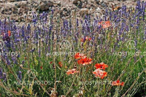 Lavender field with poppies, Provence