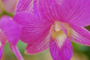 pink-white orchid