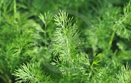 dill growing on vegetable bed