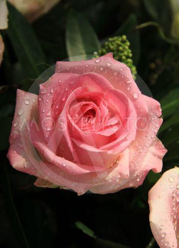 Big pink rose