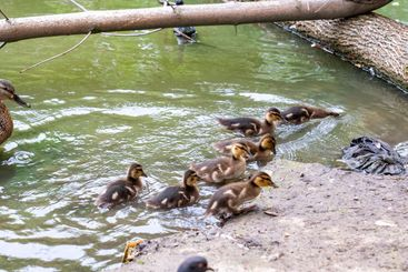 ducklings with the mother duck went to the river Bank....