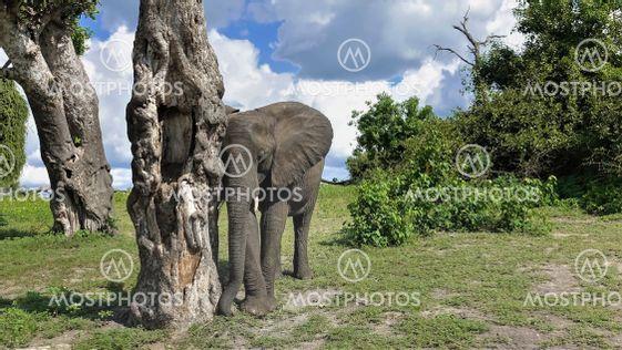 A cute baby elephant leaned against a dry tree.