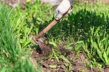old man uproots hoe weeds in his garden