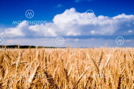Hvede felt og blå himmel