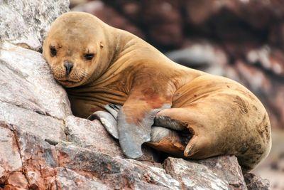 Sleeping sea lion cub