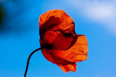 Poppy in summer tone