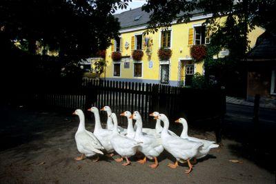 Austrian Geese