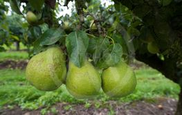 conference pears in an orchard