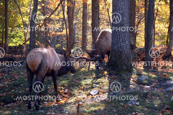 Two elks (Cervus canadensis) fighting