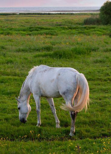 En vacker vit häst på strandbete  - Silvertid